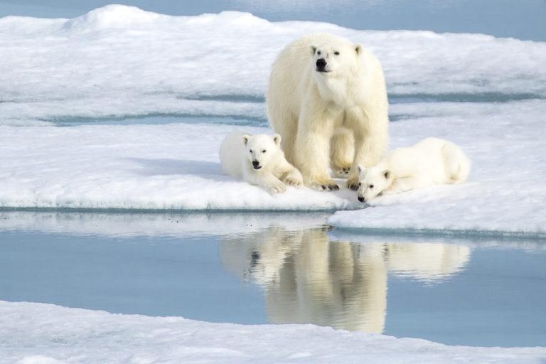 【北極】2100年までに大半のホッキョクグマが絶滅のおそれ。海氷融解で捕食できず餓死